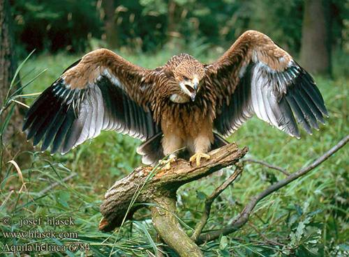 En Güçlü Yirtici Kuş Sayfa 1 3