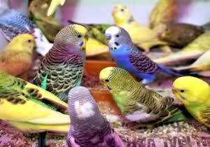 Muhabbet Kuşu Cinsiyet Yaş Irk özellik Her Türlü Bilgi Mevcut 7 24